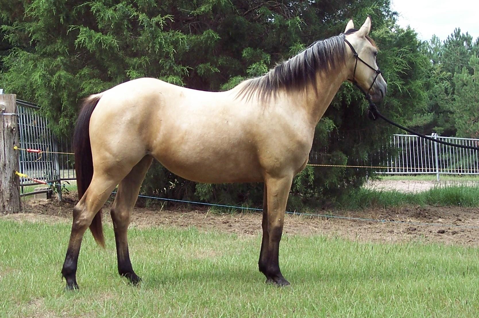2008 foals lazy j welsh pony ranch. Black Bedroom Furniture Sets. Home Design Ideas